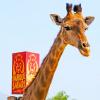 Girafa-Parque-Safari