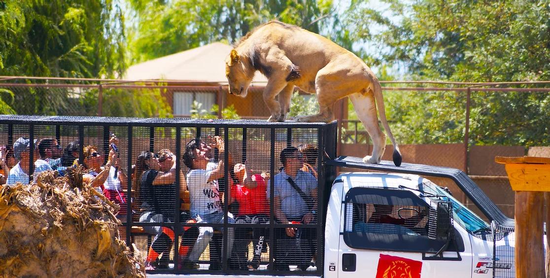 Leao-Parque-Safari